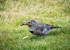 Backyard Birding
