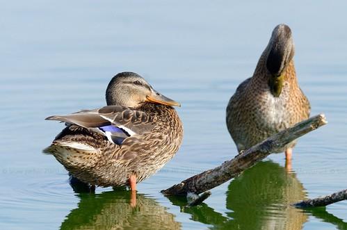 Mallard, Canard colvert (Anas platyrhynchos) - Hollogne-sur-Geer, BELGIUM