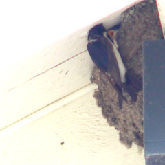 Feeding the little one - Common house martin, Delichon urbicum, Hussvala