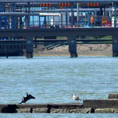 Cormorant, gull and humans' contribution to the nature
