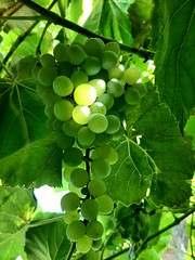 white grapes in my yard..