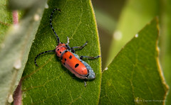 Little Red Bug