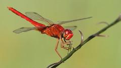 Scarlet Skimmer (male)- Hudson Beach