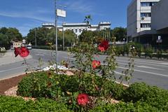 Cvijet na Trgu Republike u Puli (137FJAKA_4335)