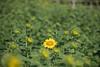 Photo:20200801 Hamanako Garden Park 7 By BONGURI