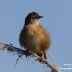 Aves en las lagunas de La Guardia (Toledo) 14-8-2020