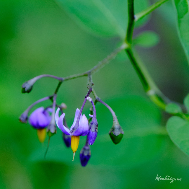 Photo:Deadly Nightshade - Morelle douce-amère mortelle By monteregina