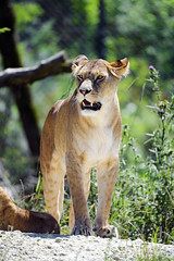 Lioness standing with open mouth