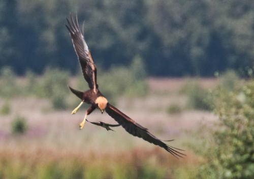 Rohrweihe (w), Eurasian Marsh Harrier (Circus aeruginosus)