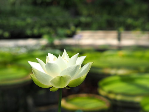 Kew gardens waterlily