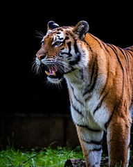 Call me a big cat one more time ...