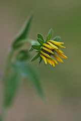 Rudbeckia unfolding