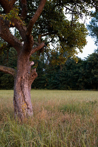 Einsamer Apfelbaum auf trockenem Felde