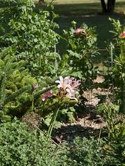 Lycoris squamigera (Surprize Lily) Photo by F.D.Richards, SE Michigan, 8/2020