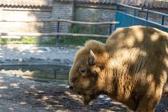 Bison animal in the Belgrade Zoo