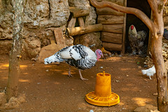 Am thinking its a Goble Goble (Turkey)