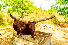 Now thats Horns ..The Watusi