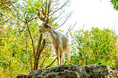 Going by where this Girgentana was standing and the Lenght of Horns id say She is The Leader of the Pack ...