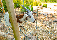 The Rove goat.