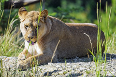 Lioness lying down and showing tongue