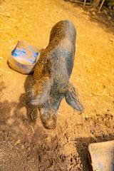 The Woolly Piggie ....
