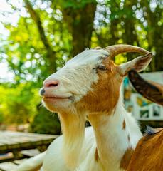 Mr Goat looks an afa Happy Chiel ....