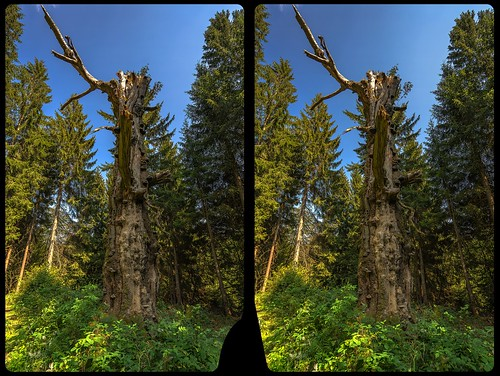 Dead tree 3-D / CrossView / Stereoscopy