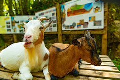 Dinner Time for the Goats ....