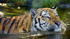 Tigress in the water