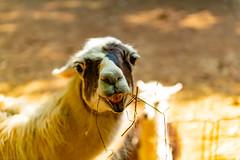 No Dramas fae the Lamas ...