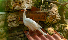White Peacock..