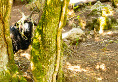 This goat thinks i cana see it with its Camo Head gear on .... Yir spotted Mate,