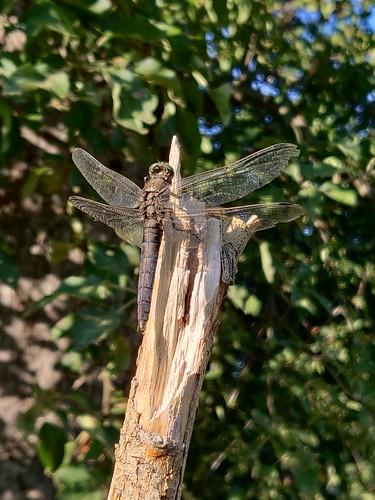 Libelle unbekannt