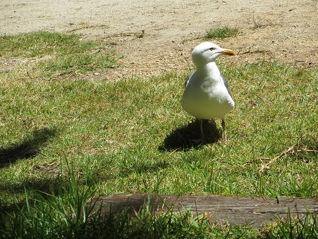 Photo:seagull trying to be sly By Noelle Gillies