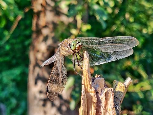 Libelle unbekannt 2