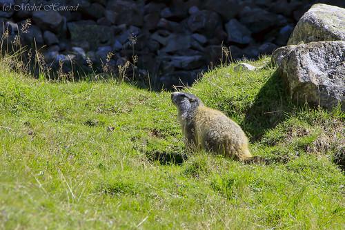 Marmotte - Alpes (france)