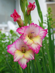 Gladiolus 19