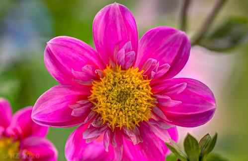 Flowers on my balcony - Dahlia Mies