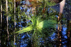 """Hay tuft"" and reflection"