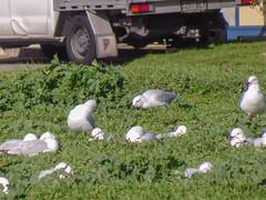 Seagulls Enjoying Weeds and Sunshine