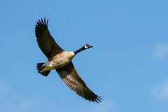 Derwent Reservoir Geese 2020