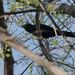 Asian Koel (Eudynamys scolopaceus)-3675