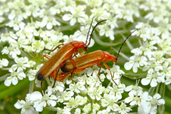Common Red Soldier Beetle - Rhagonycha fulva