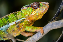 Chameleon on the branch