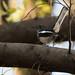 Oriental Magpie-robin (Pycnonotus conradi)-3626