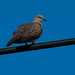 Spotted Dove (Spilopelia chinensis)-3650