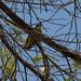 Coppersmith Barbet (Psilopogon haemacephalus)-3607
