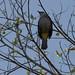 Yellow-vented Bulbul (Pycnonotus goiavier) -3648