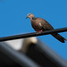 Spotted Dove (Spilopelia chinensis)-3655