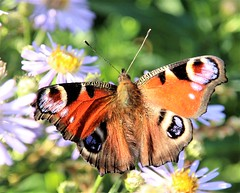 Beautiful peacock butterfly